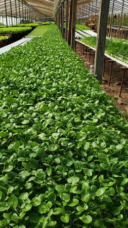 Cultivo NFT hidroponico en Invernadero