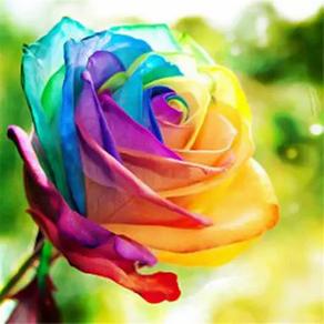 Amazon   Rainbow Rose Seeds