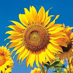 Amazon   Skyscraper Sunflower Seeds