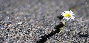 daisy-durchbricht-asphaltdecke-d8x6e5_ed