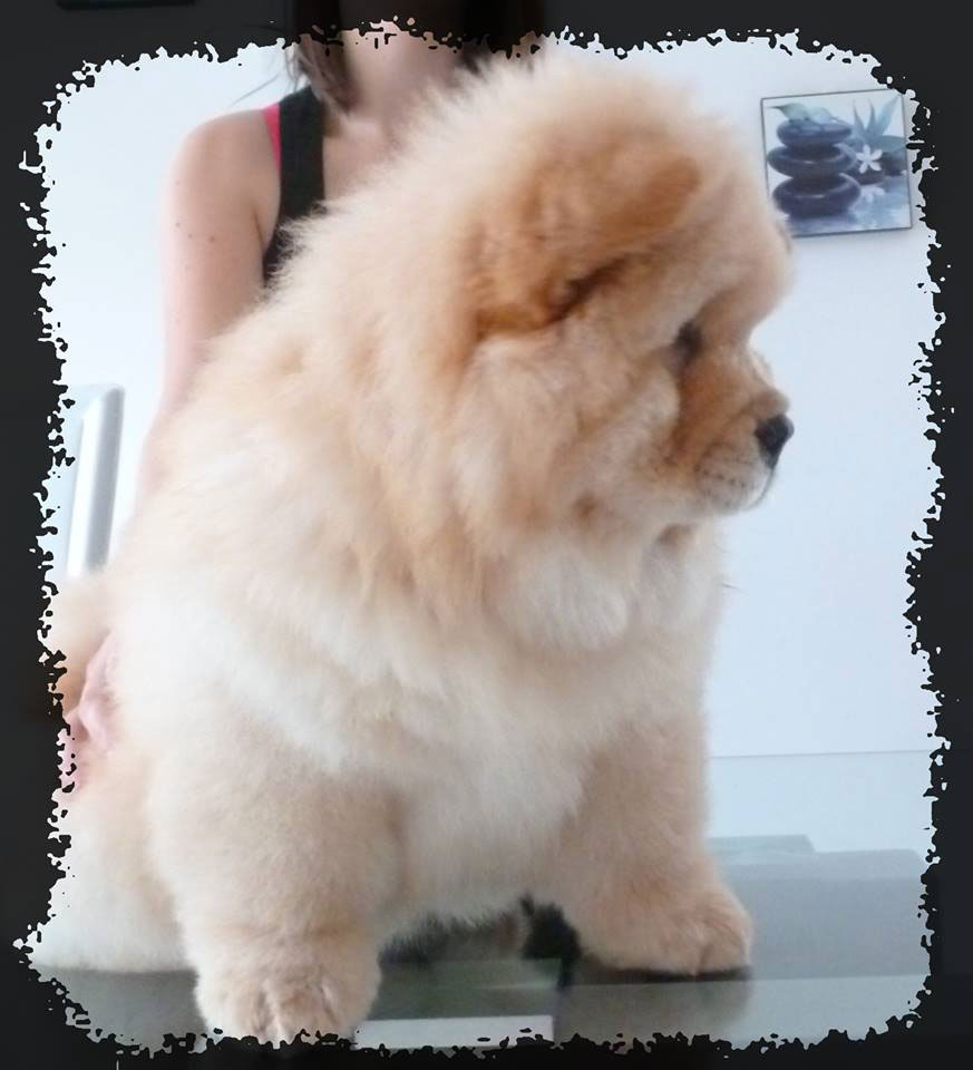 chiot-chow-creme