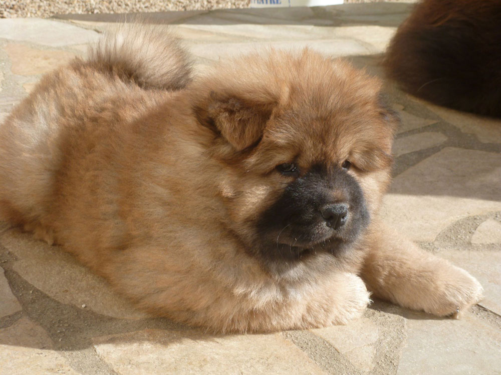 chiot-chow-chow-fauve
