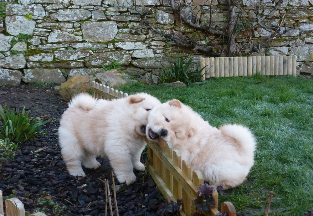 chiots-chow-chow