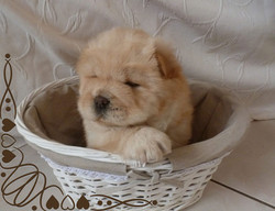 chiot-chow-chow-creme