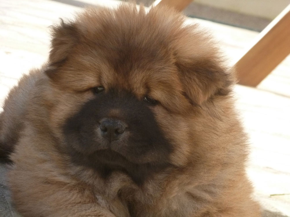 chiot-chow-chow-fauve2