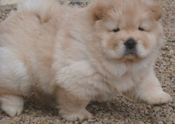chiot-chow-chow-creme2