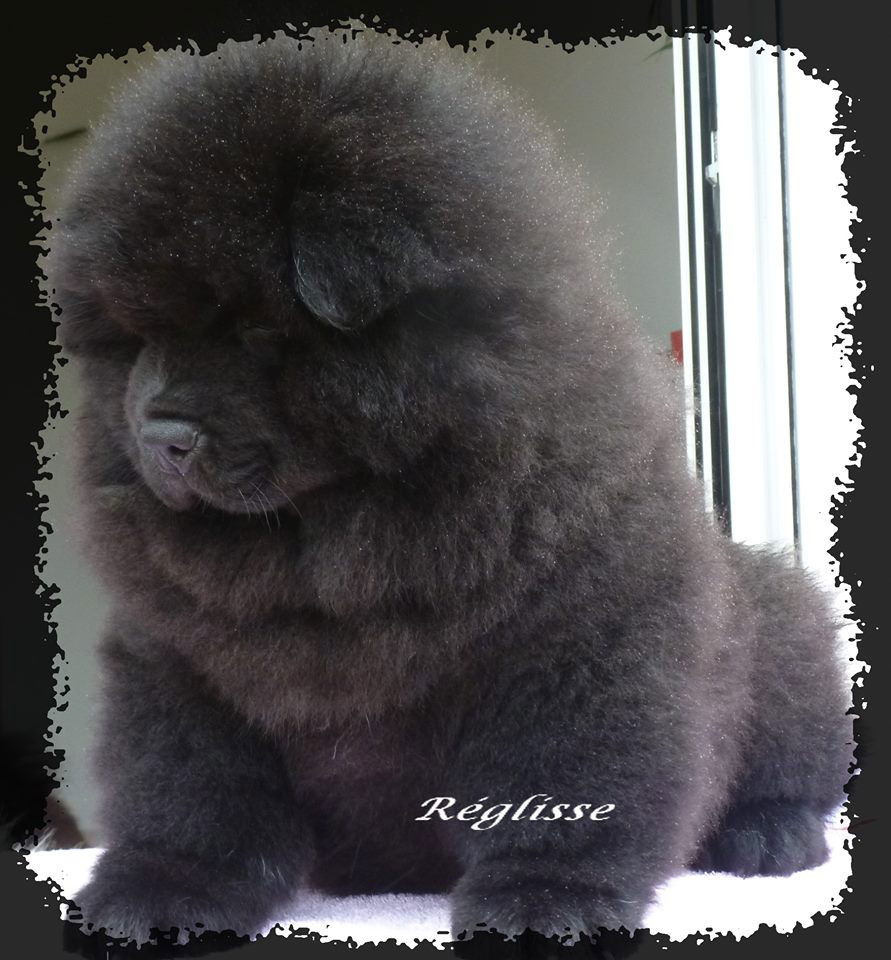 chiots-chow