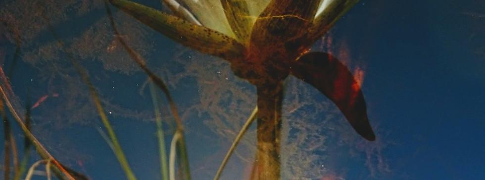lily shimmering.JPG