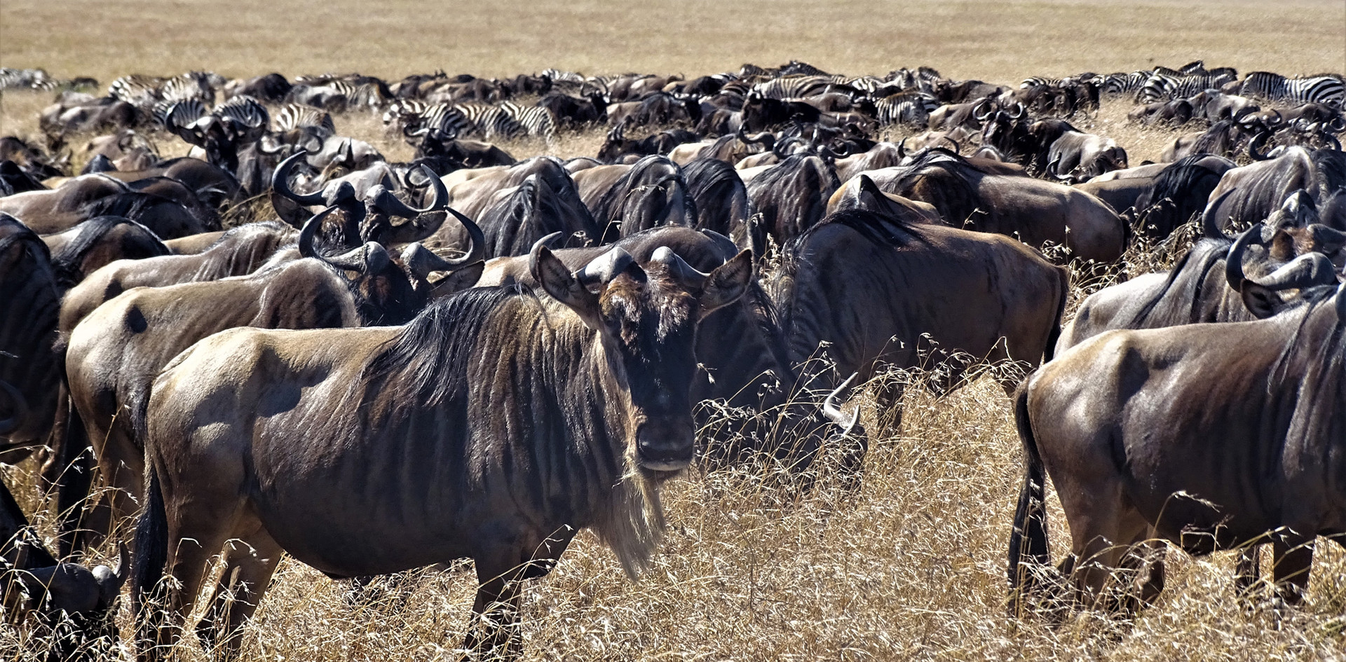 buffalo migration.JPG