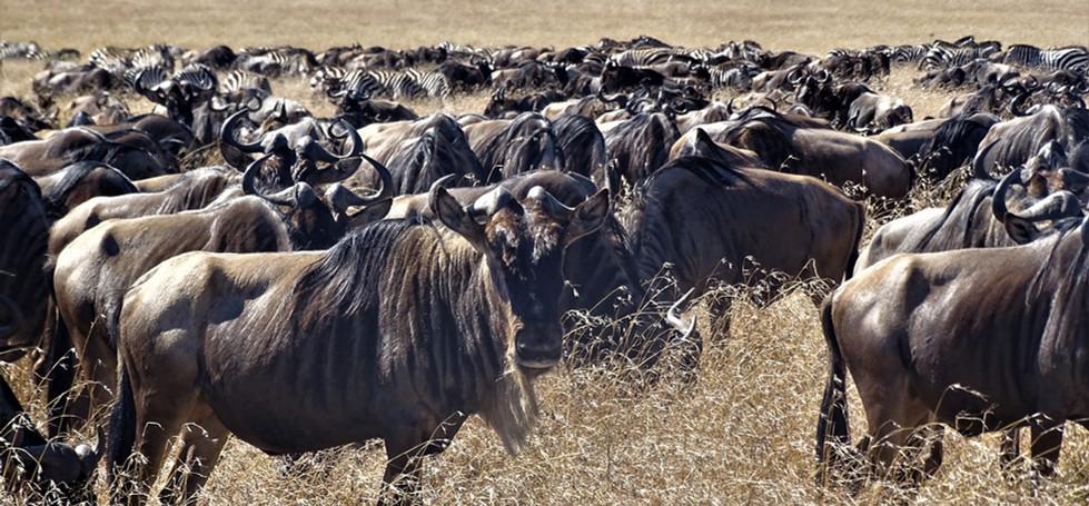 Great migration Masai Mara