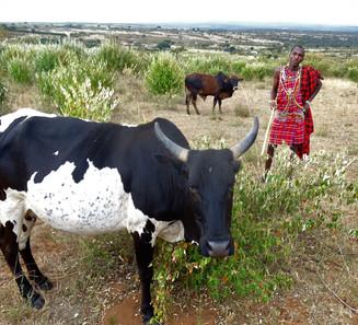 Maasai Cowherder