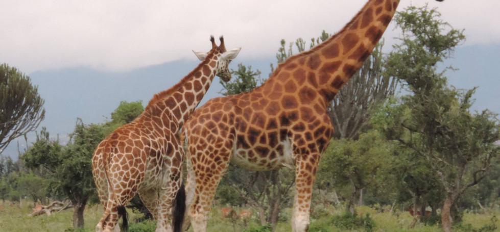 rothshild giraffe