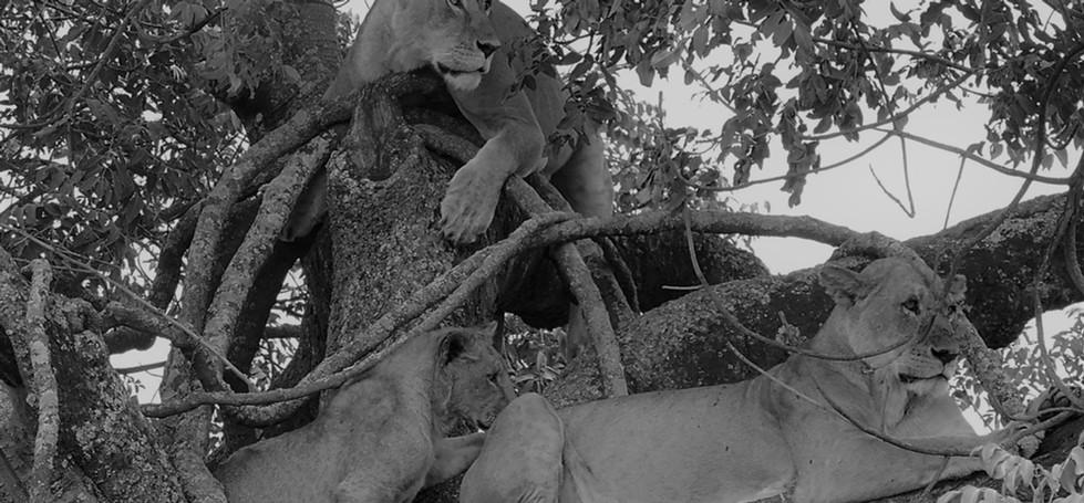 lionesses tree.jpg
