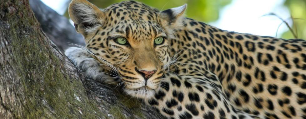 leopard 2.jpeg