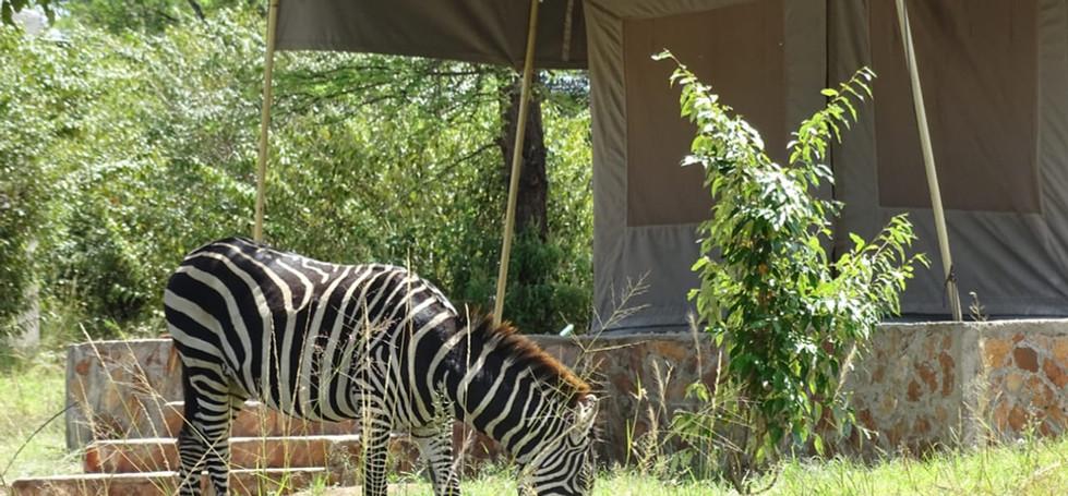 zebra tent.jpg