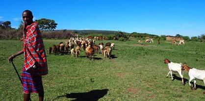 cattle dennis.jpg
