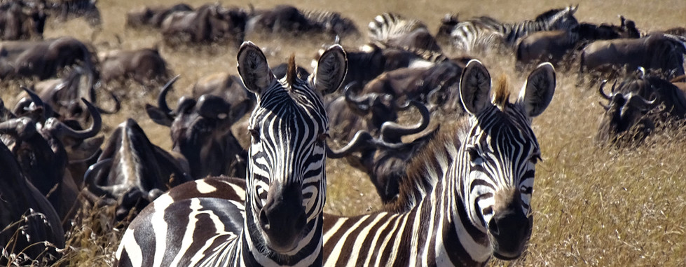 zebra stare and gnoe.JPG