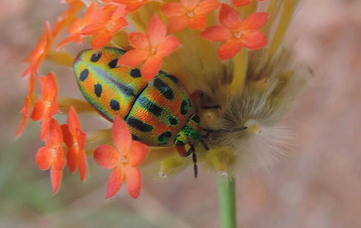 Gnidea rebucens with jewel beetle