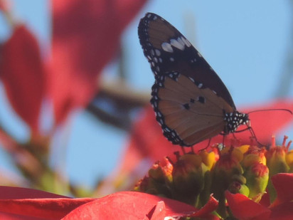 The African monarch butterfly