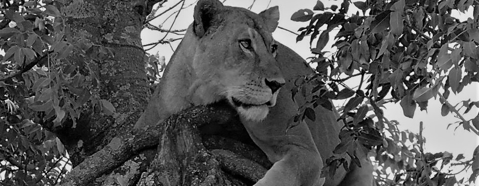 Lioness tree.jpg