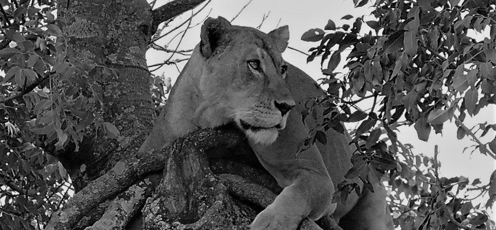 Lionesses in tree