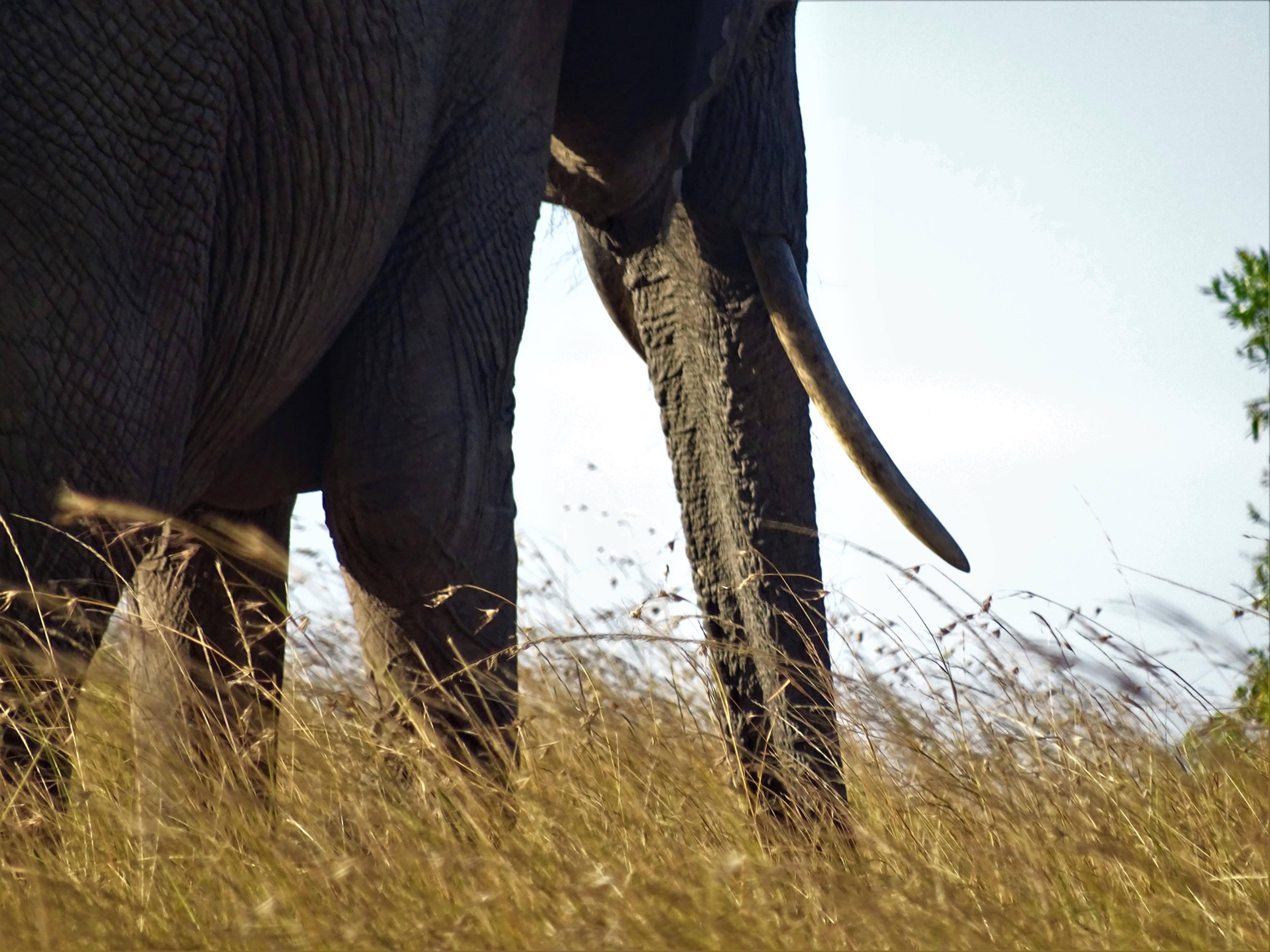 Elephant Hike with Maasai Warriors