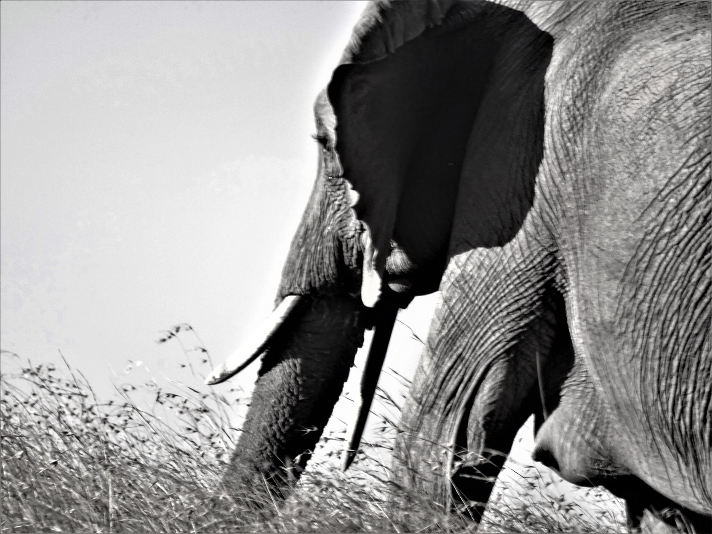 Elephant from the side