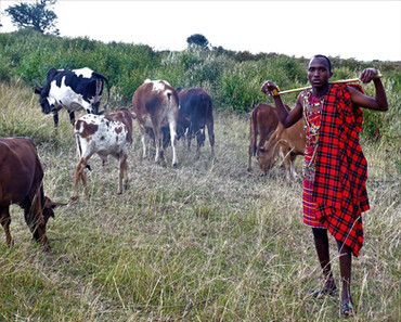 cattle solo.jpg