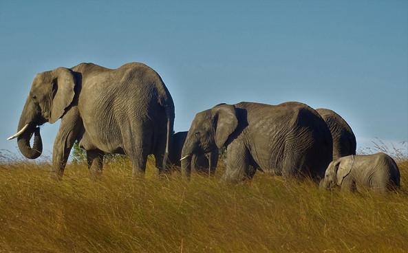 elephants on walk