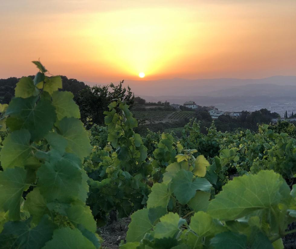 Puesta de sol entre los viñedos