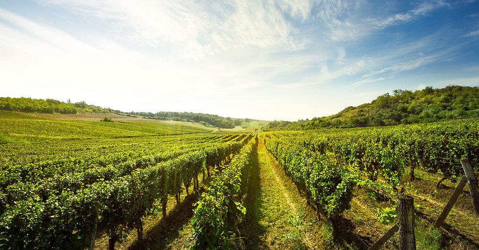 Vineyard, nature landscape .jpg