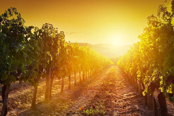 Vineyard wonderful landscape in Tuscany,