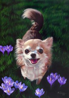 """Chihuahua with crocus"""