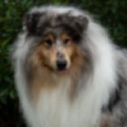 Perros Collie Rough