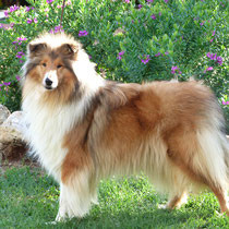 rough collie acarbonado
