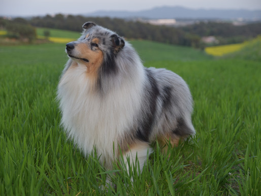 7 Complementos para la salud del Rough Collie