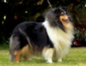 DENFRIS REVOLUTION DREAM IN BLACK, Rough collie, collie, Lassie