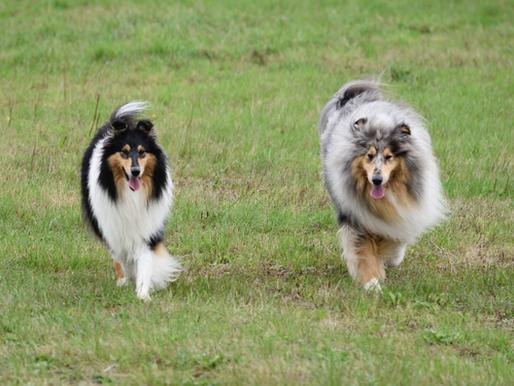 Cuidados del perro pastor escocés