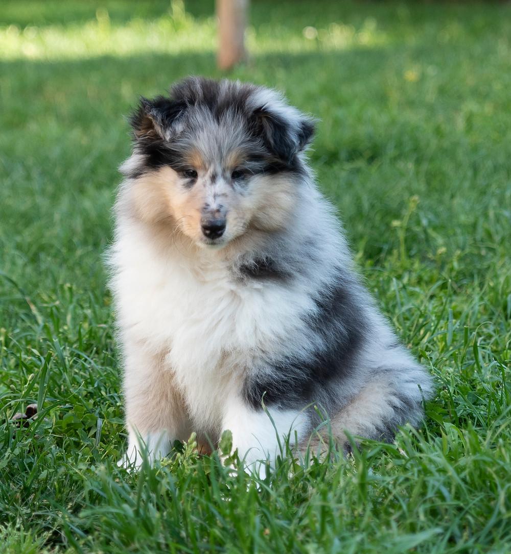 cachorro blue merlé