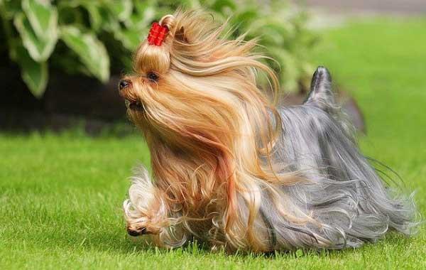 perros pelo largo