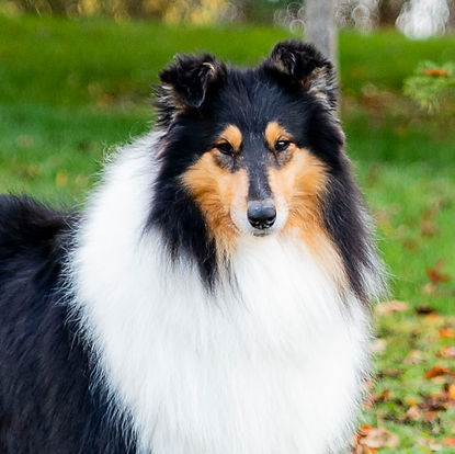 rough collie tricolor
