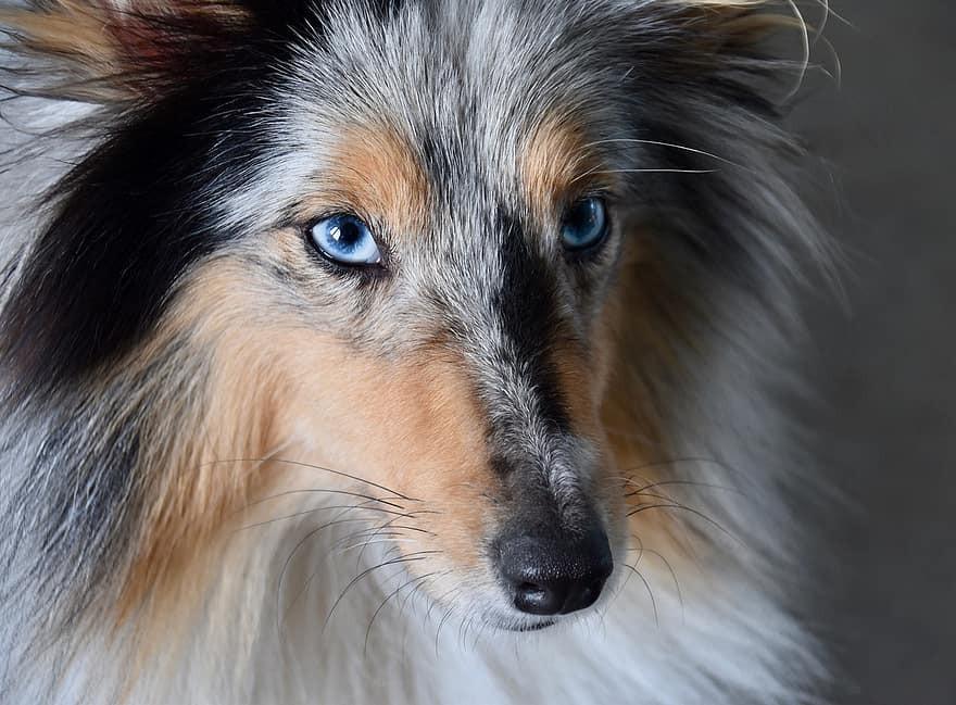 ¿Cómo se llama el perro de ojos azules?