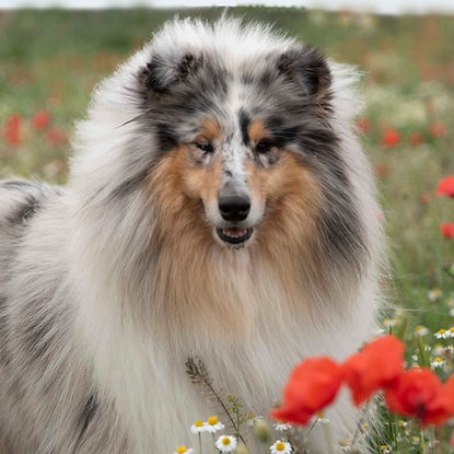 rough collie gris mirlo