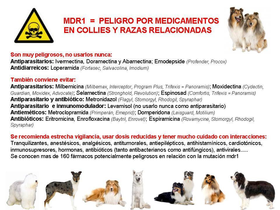 MDR1 Rough Collie