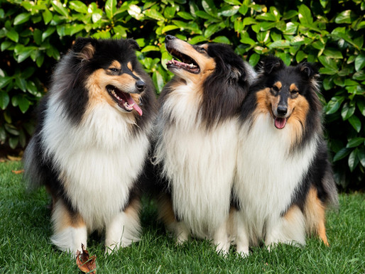 Los Colores del Rough Collie