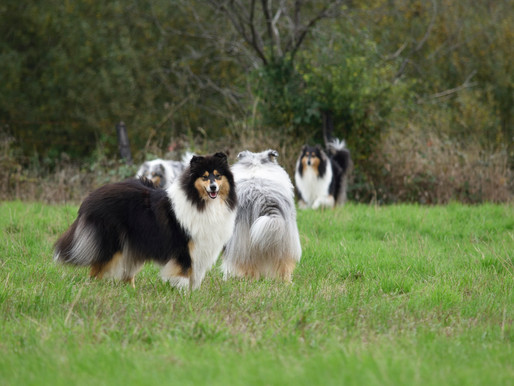 MDR1 y el Rough Collie