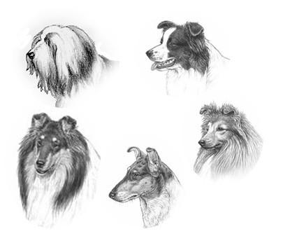 perros de raza collie
