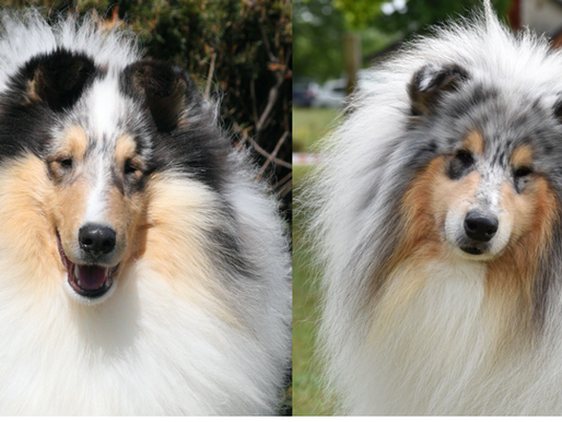 Rough Collie Europeo vs Americano
