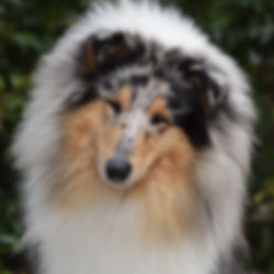 delfluvia mononoke princess, Sakura, Collie, Rough Collie, Lassie