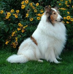 rough collie blanco